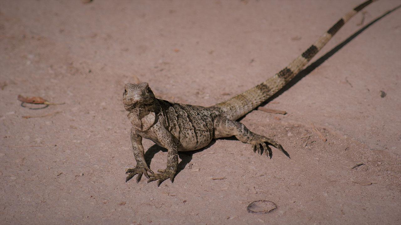 curly nomad mexico tulum geckos photo