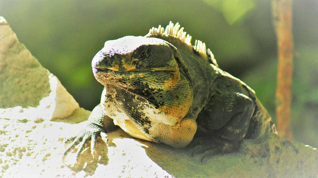curly nomad mexico tulum iguana image