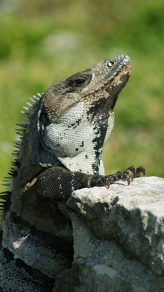 curly nomad mexico tulum iguanas photo