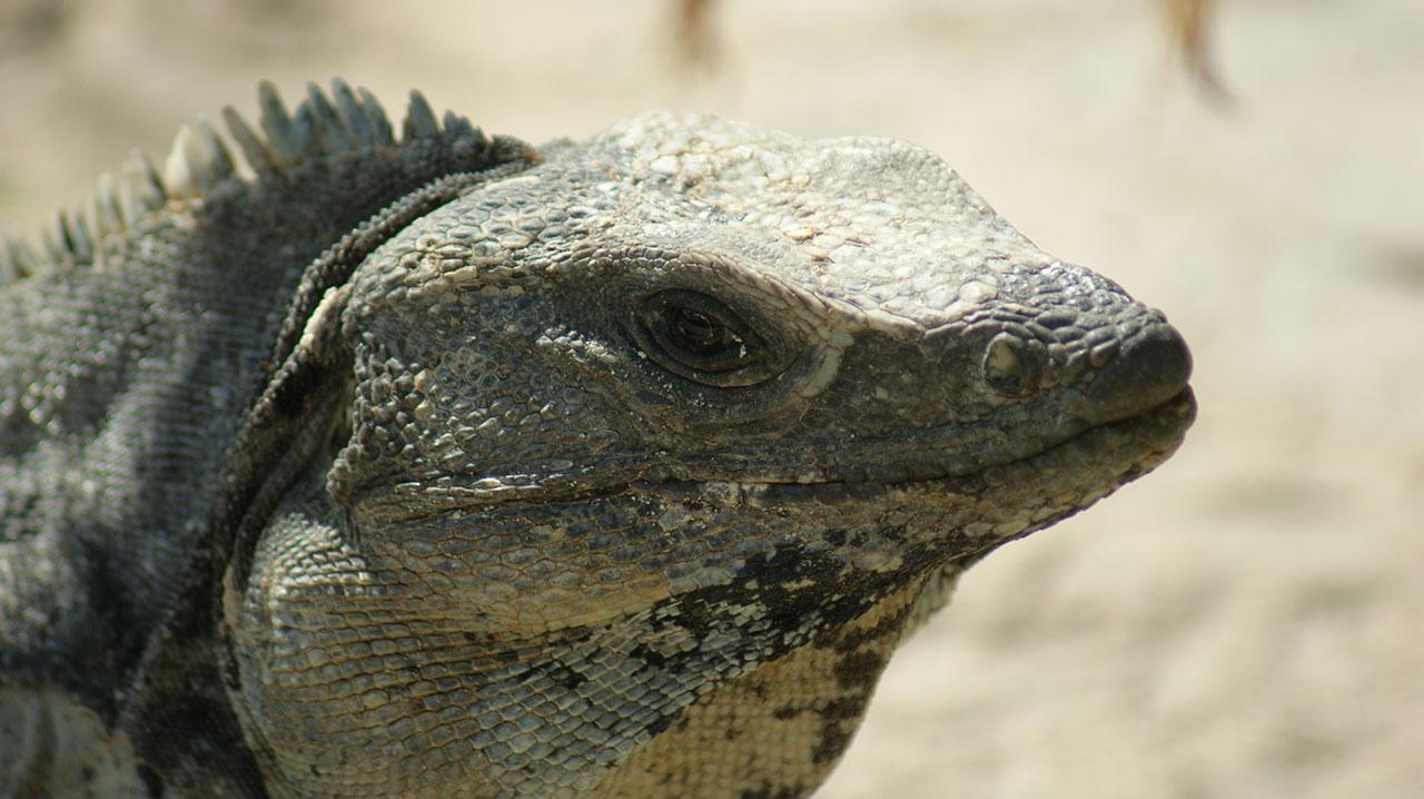 curlynomad mexico tulum lizard img