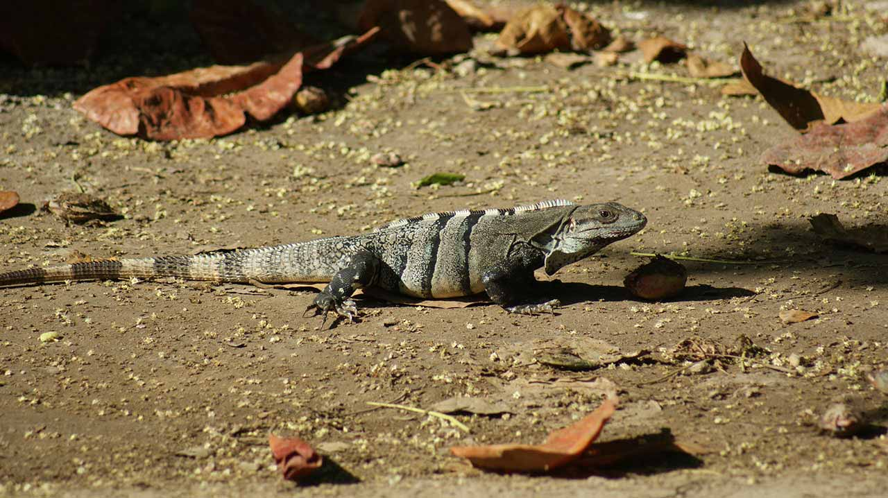 curly nomad mexico tulum lizard1 photo
