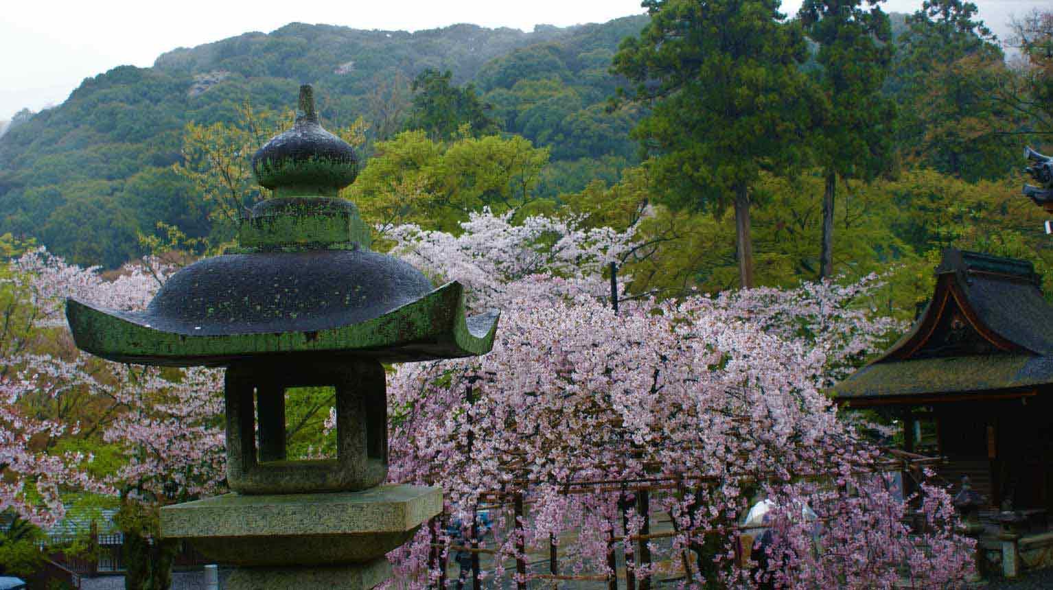 curly nomad asia japan temple sakura hanami cherry trees image