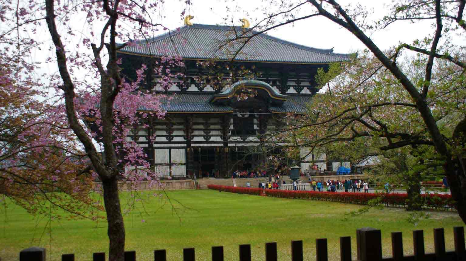 curly nomad asia japan temple sakura hanami cherry tree image