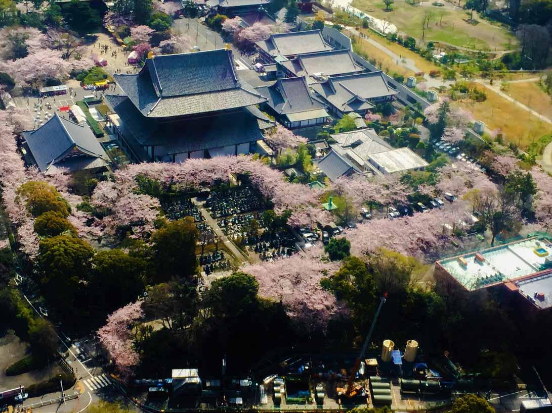 curly nomad asia japan pagoda temple sakura hanami cherry tree image
