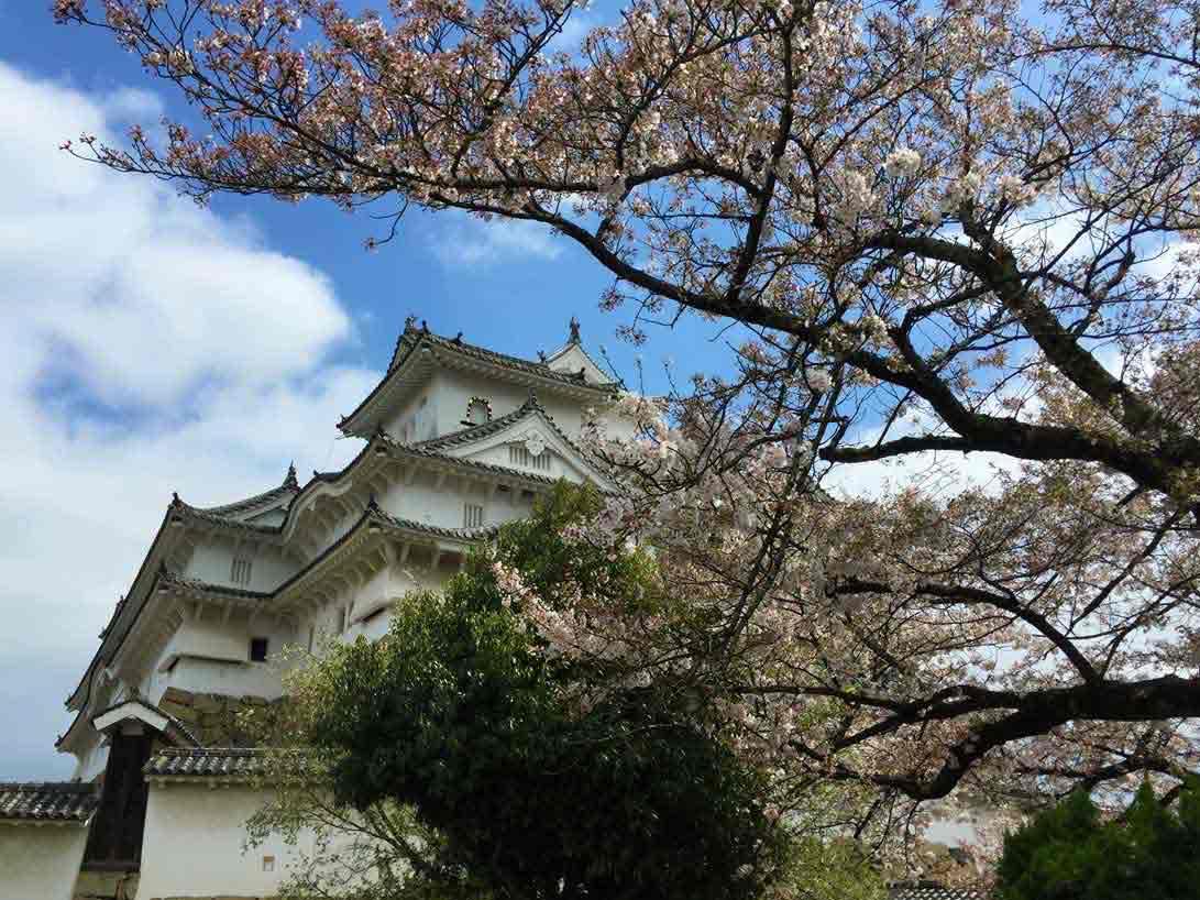 curly nomad asia japan pagoda white temple sakura hanami cherry tree image