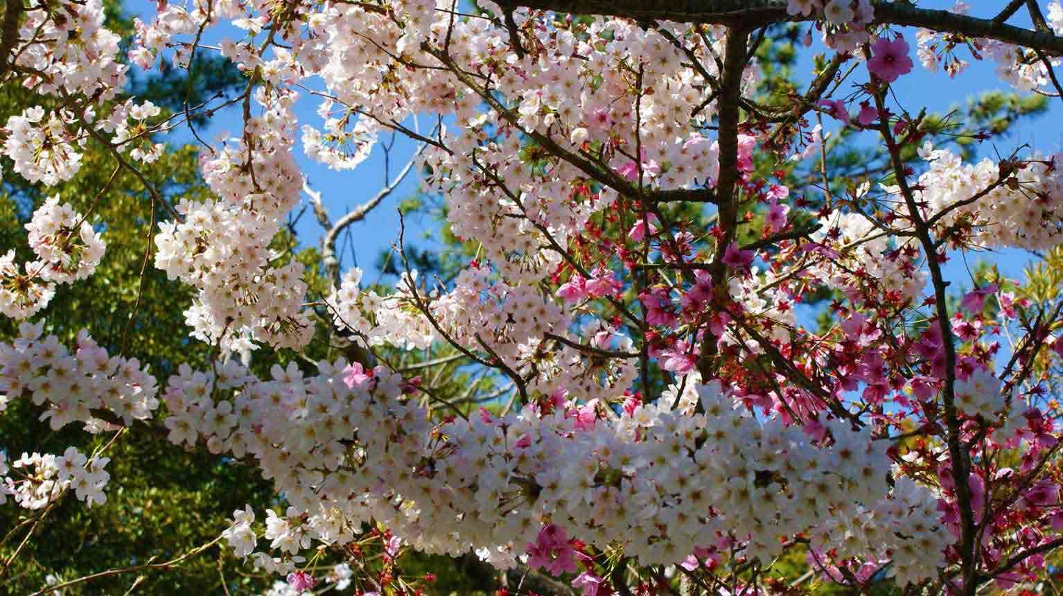 curly nomad asia japan pagoda sakura hanami cherry tree image