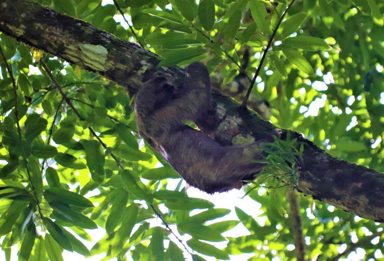 curly nomad central america costa rica tortuguero sloth photo
